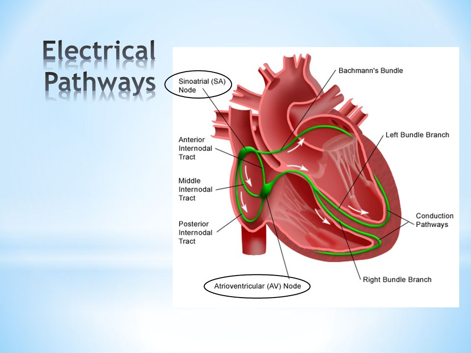 Electrical Pathways SA node - pacemaker of the heart.
