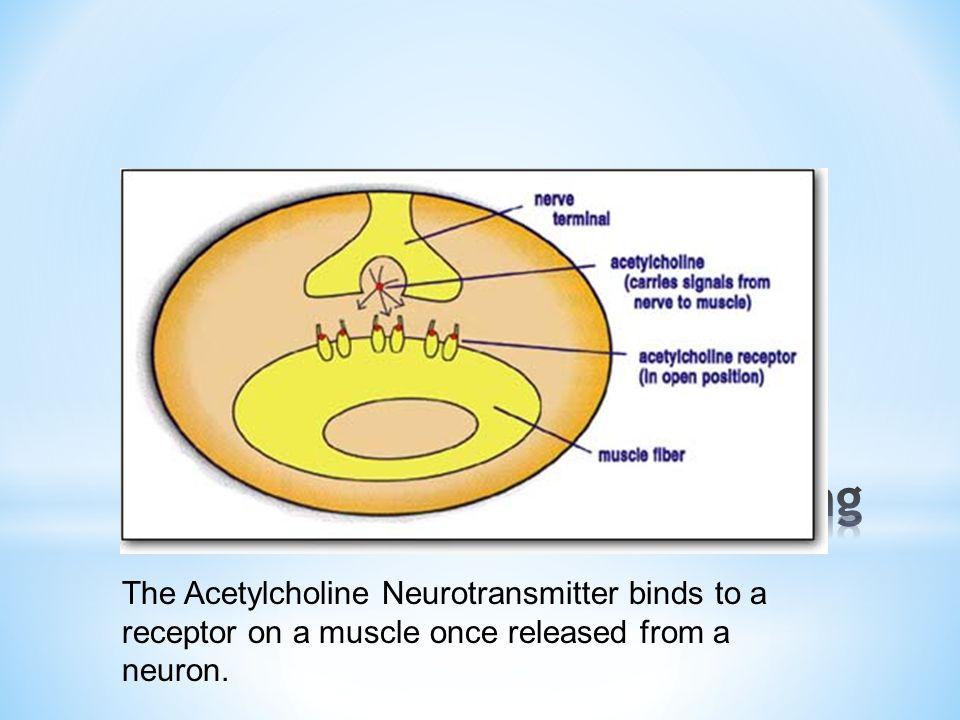 Acetylcholine Binding