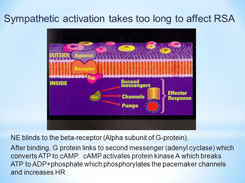 Sympathetic activation takes too long to affect RSA