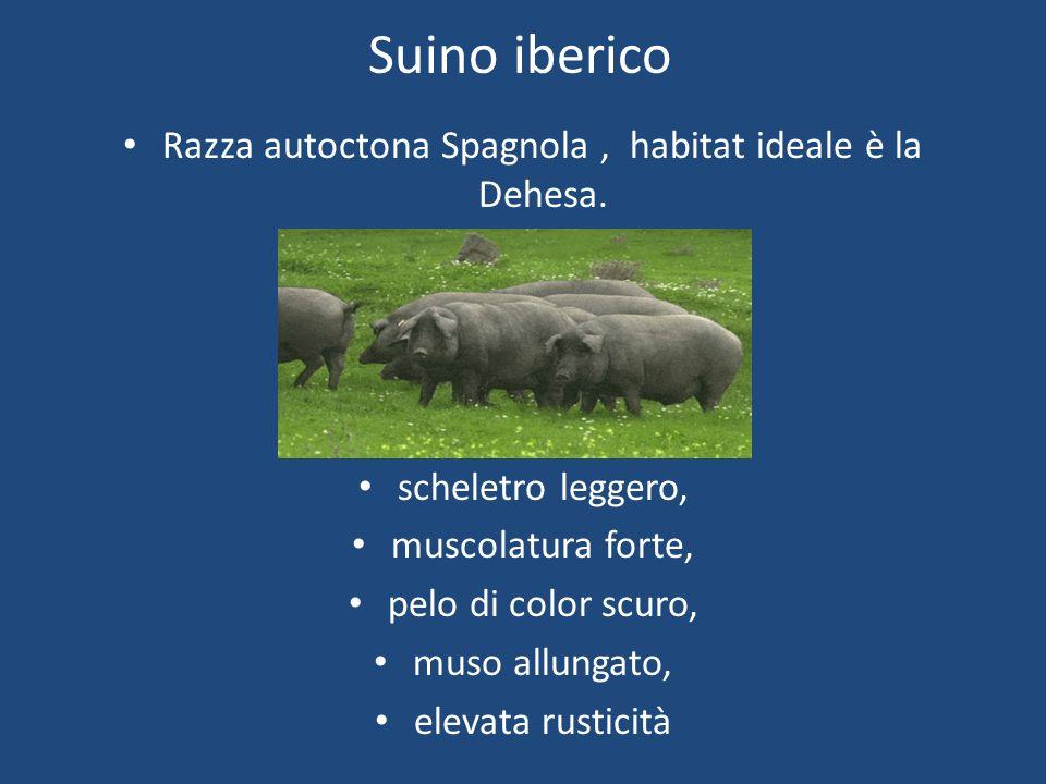 Razza autoctona Spagnola , habitat ideale è la Dehesa.
