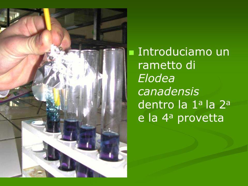 Introduciamo un rametto di Elodea canadensis dentro la 1a la 2a e la 4a provetta