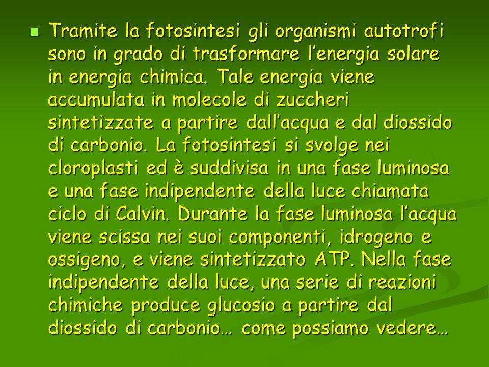 Tramite la fotosintesi gli organismi autotrofi sono in grado di trasformare l'energia solare in energia chimica.