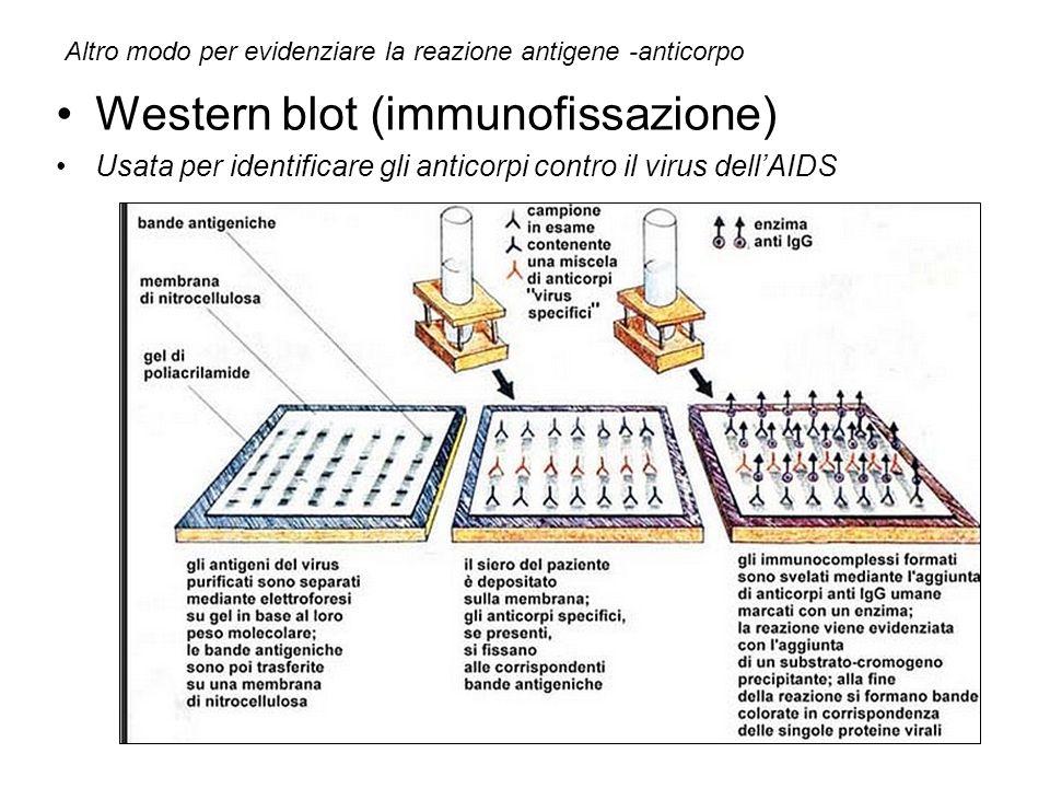 Western blot (immunofissazione)