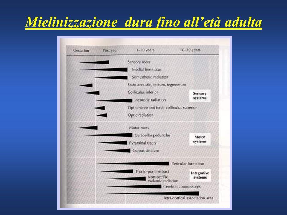 Mielinizzazione dura fino all'età adulta