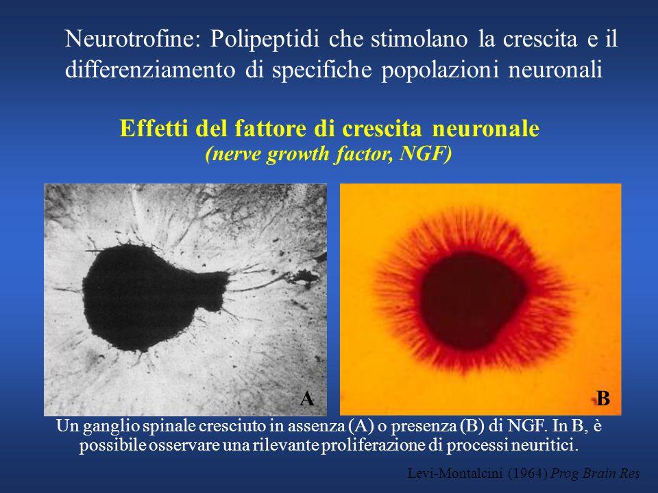 Effetti del fattore di crescita neuronale (nerve growth factor, NGF)