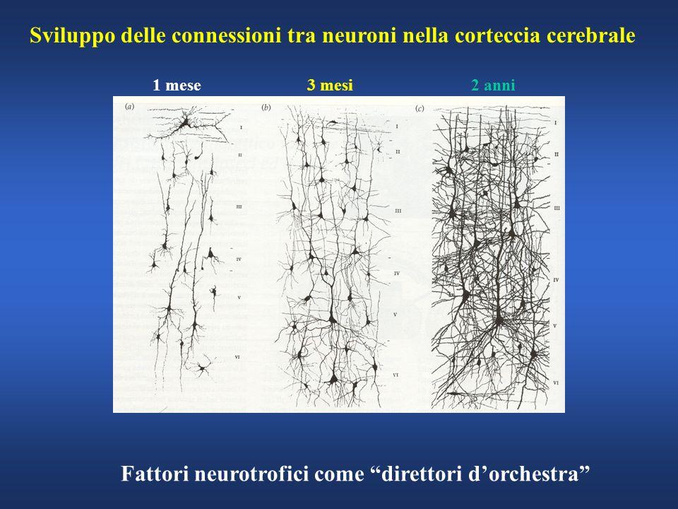 Sviluppo delle connessioni tra neuroni nella corteccia cerebrale