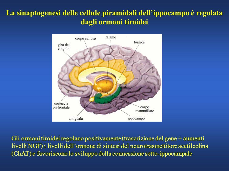 La sinaptogenesi delle cellule piramidali dell'ippocampo è regolata