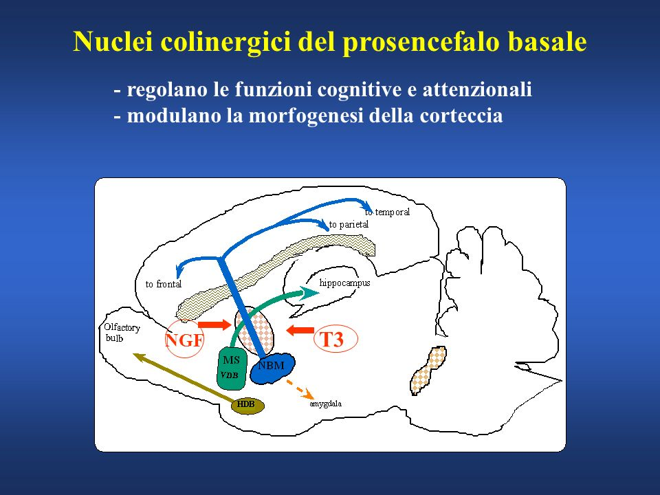 Nuclei colinergici del prosencefalo basale