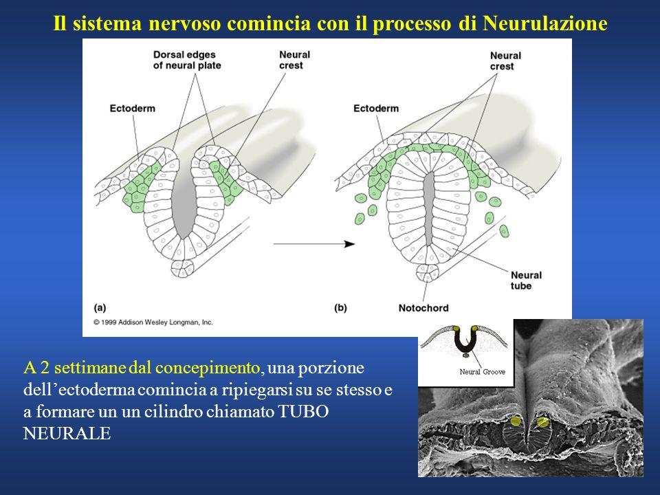 Il sistema nervoso comincia con il processo di Neurulazione