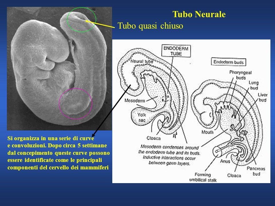 Tubo Neurale Tubo quasi chiuso Si organizza in una serie di curve