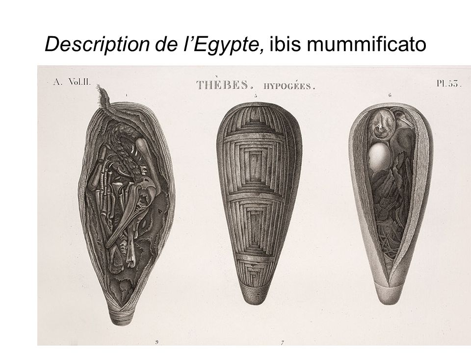 Description de l'Egypte, ibis mummificato