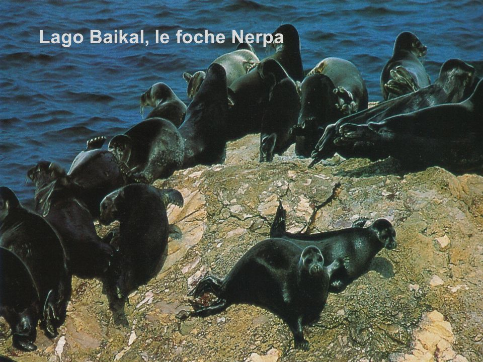 Lago Baikal, le foche Nerpa