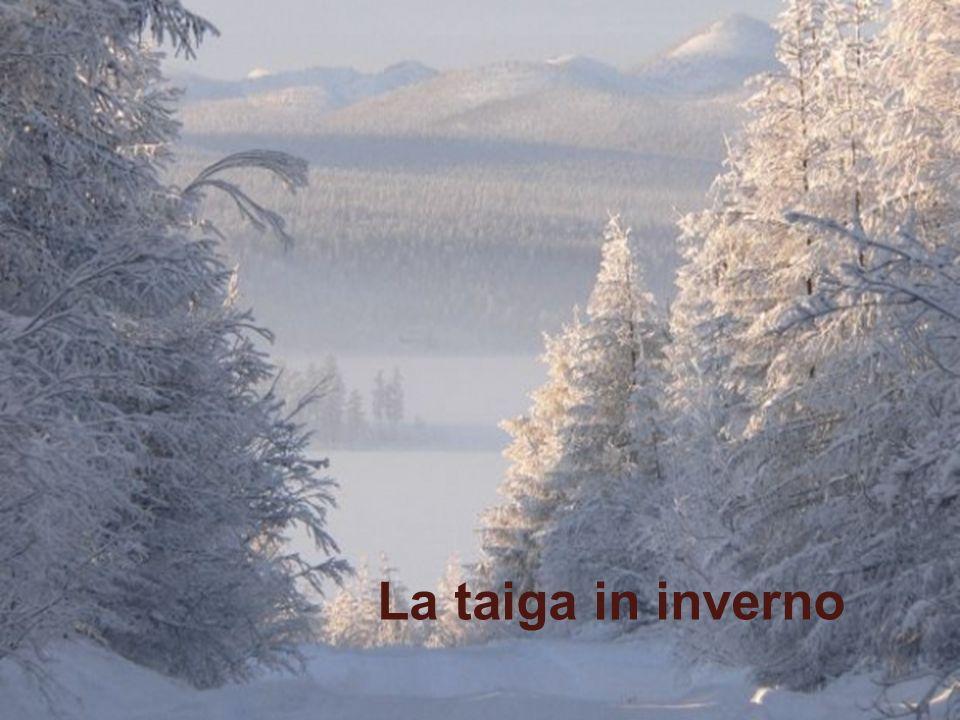 Taiga La Transiberiana attraverso la Taiga, sterminata foresta di conifere.