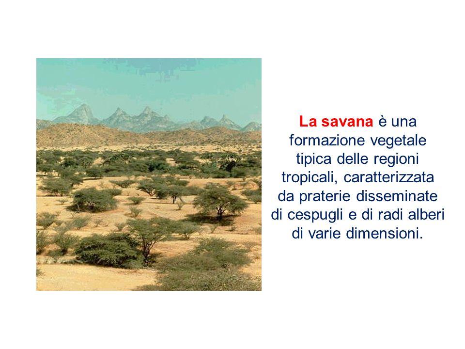 La savana è una formazione vegetale tipica delle regioni tropicali, caratterizzata da praterie disseminate di cespugli e di radi alberi di varie dimensioni.