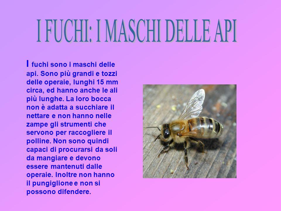 I FUCHI: I MASCHI DELLE API