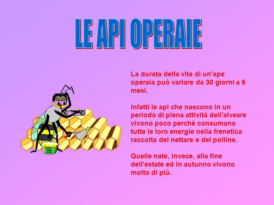 LE API OPERAIE