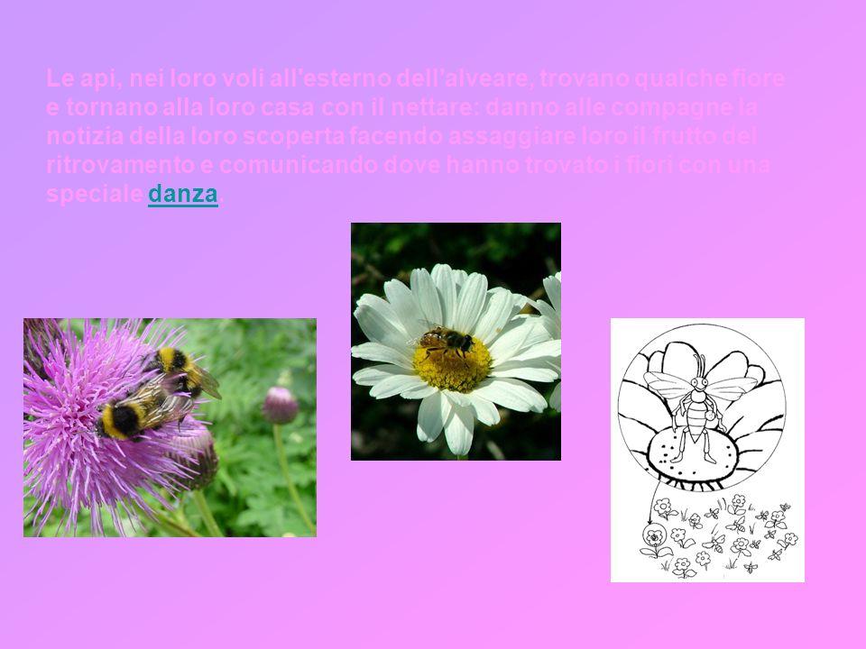 Le api, nei loro voli all esterno dell alveare, trovano qualche fiore e tornano alla loro casa con il nettare: danno alle compagne la notizia della loro scoperta facendo assaggiare loro il frutto del ritrovamento e comunicando dove hanno trovato i fiori con una speciale danza.