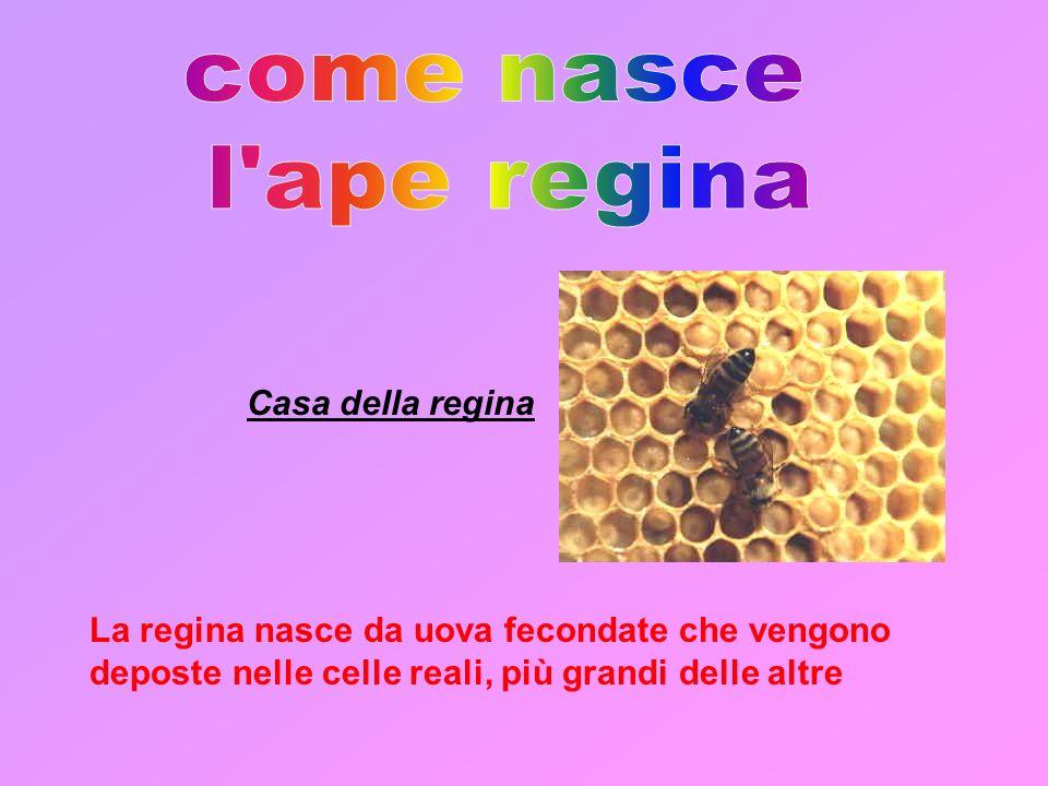 come nasce l ape regina Casa della regina