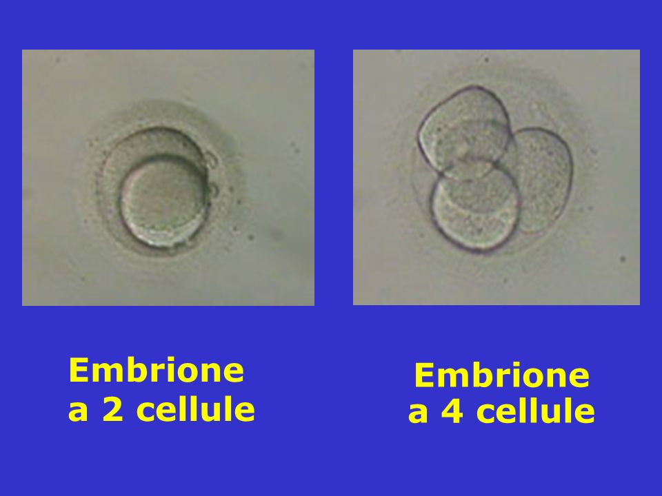 Embrione a 4 cellule Embrione a 2 cellule