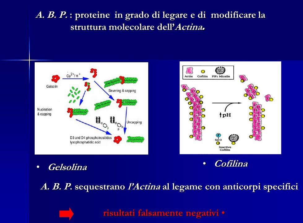 A. B. P. : proteine in grado di legare e di modificare la struttura molecolare dell'Actina.