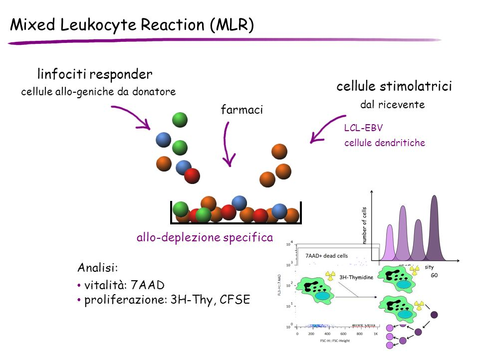 Mixed Leukocyte Reaction (MLR)