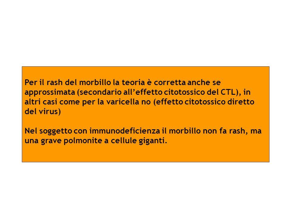 Per il rash del morbillo la teoria è corretta anche se approssimata (secondario all'effetto citotossico del CTL), in altri casi come per la varicella no (effetto citotossico diretto del virus)