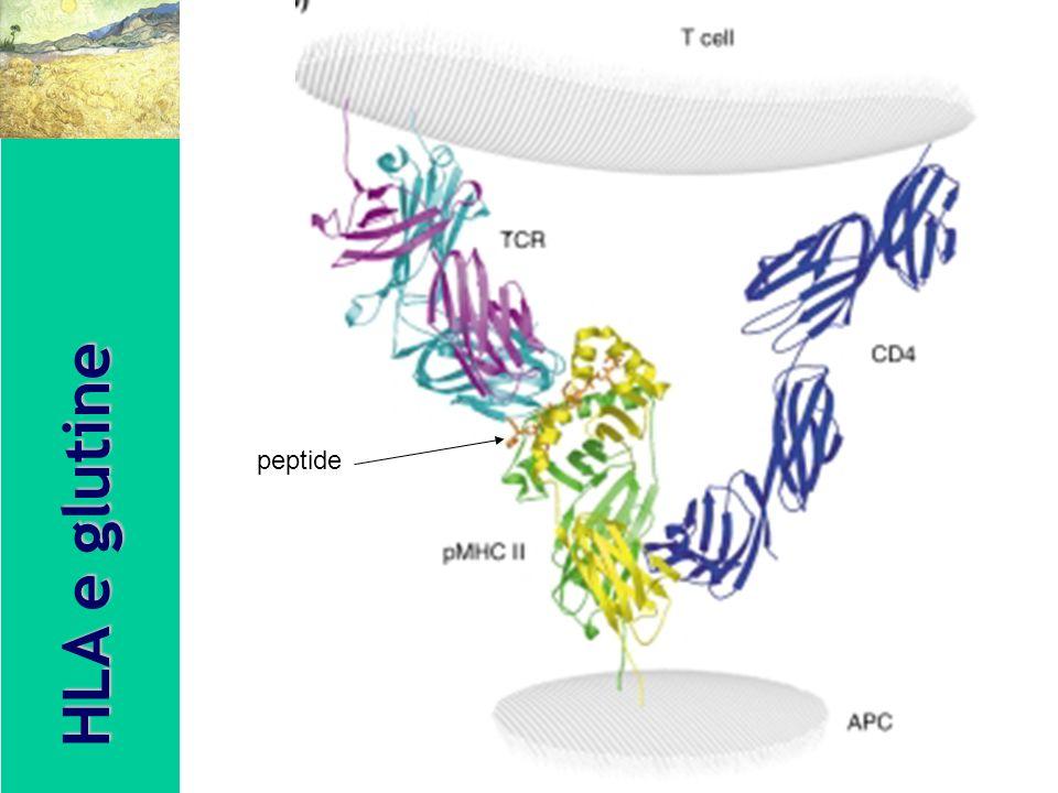 peptide HLA e glutine