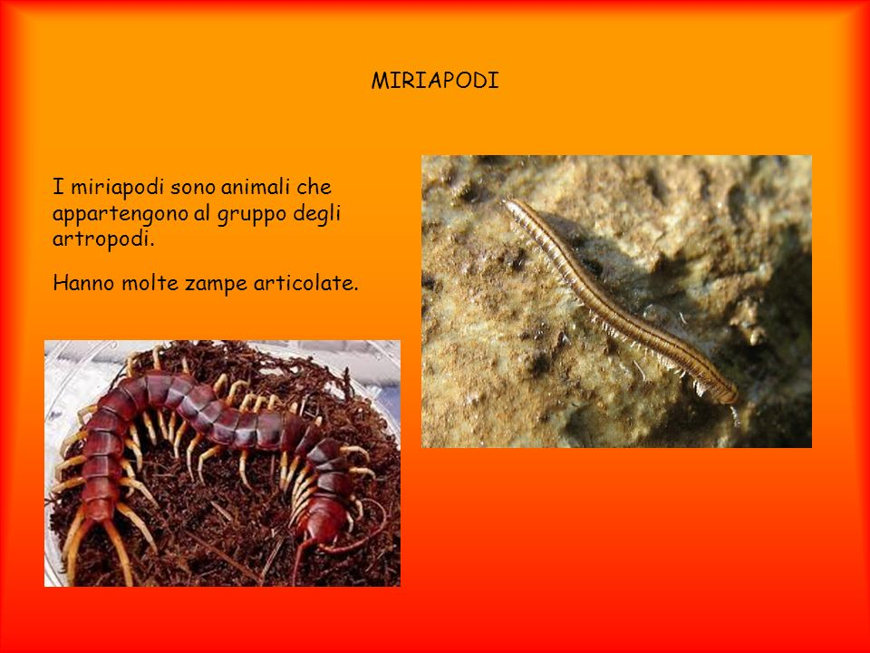 MIRIAPODI I miriapodi sono animali che appartengono al gruppo degli artropodi.