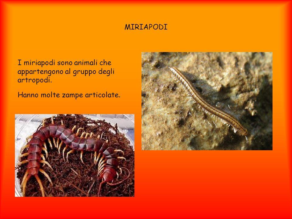 MIRIAPODII miriapodi sono animali che appartengono al gruppo degli artropodi.