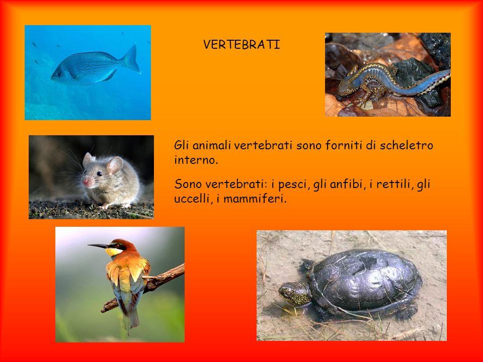 VERTEBRATI Gli animali vertebrati sono forniti di scheletro interno.