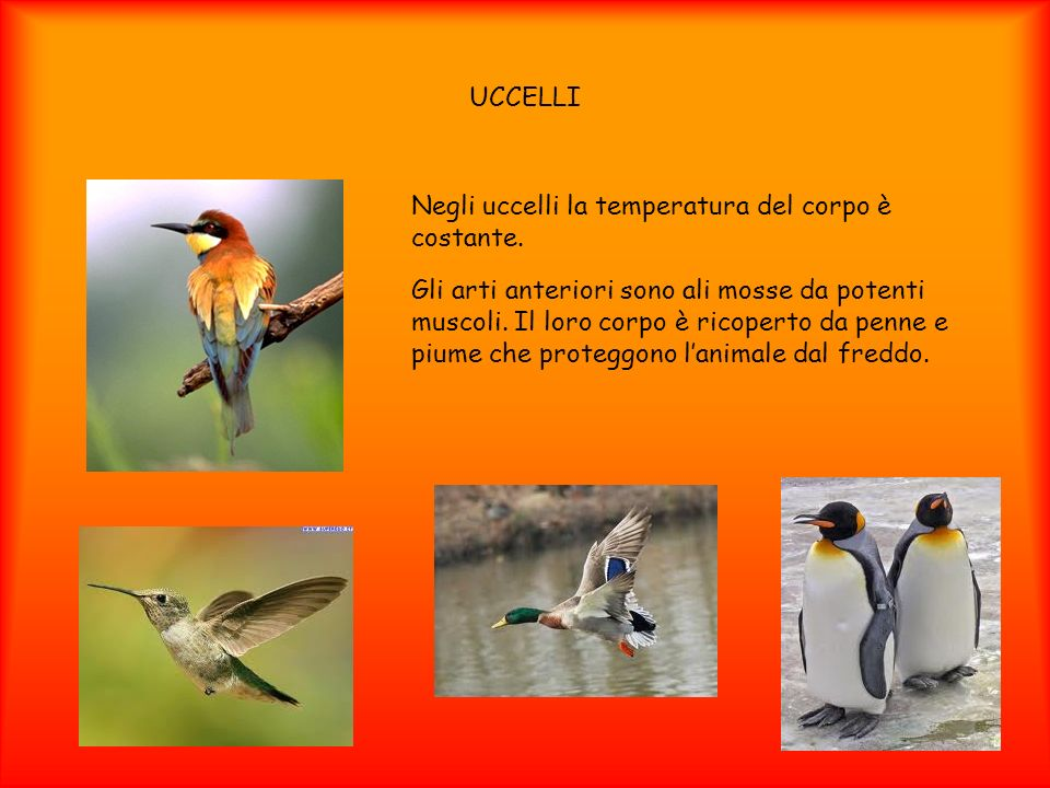 UCCELLINegli uccelli la temperatura del corpo è costante.