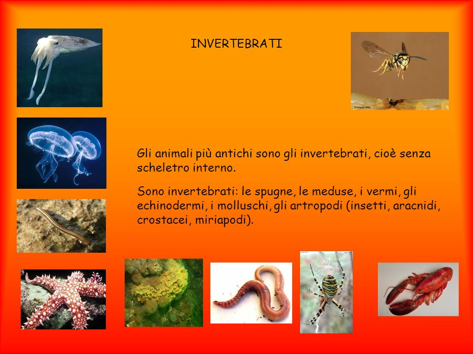 INVERTEBRATIGli animali più antichi sono gli invertebrati, cioè senza scheletro interno.