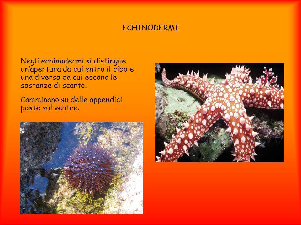 ECHINODERMI Negli echinodermi si distingue un'apertura da cui entra il cibo e una diversa da cui escono le sostanze di scarto.