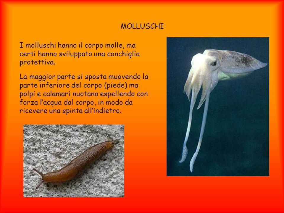 MOLLUSCHI I molluschi hanno il corpo molle, ma certi hanno sviluppato una conchiglia protettiva.