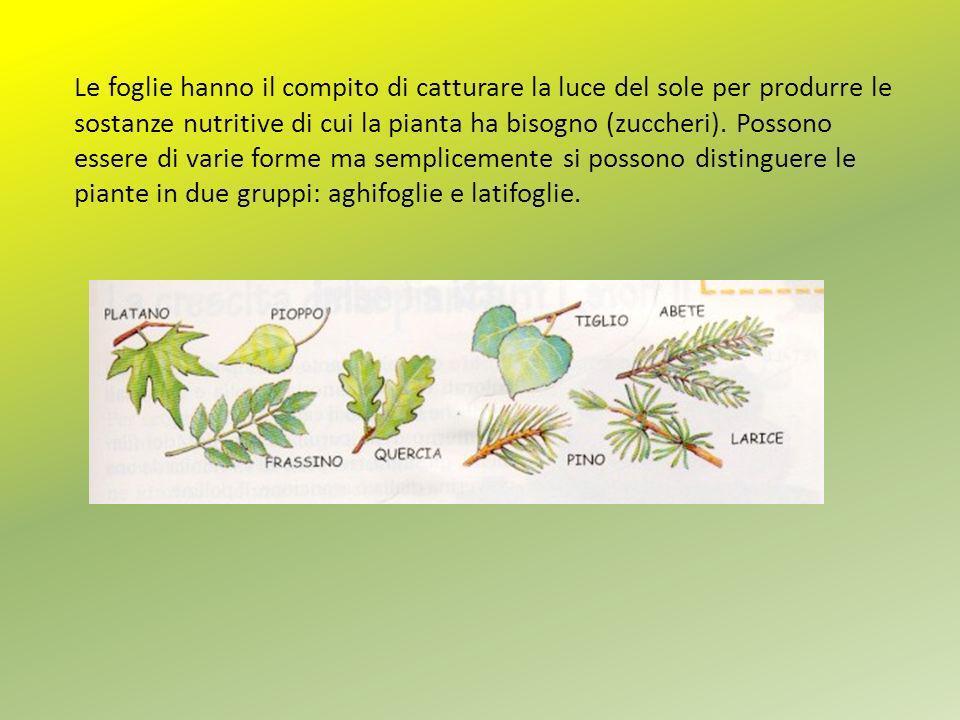 Le foglie hanno il compito di catturare la luce del sole per produrre le sostanze nutritive di cui la pianta ha bisogno (zuccheri).