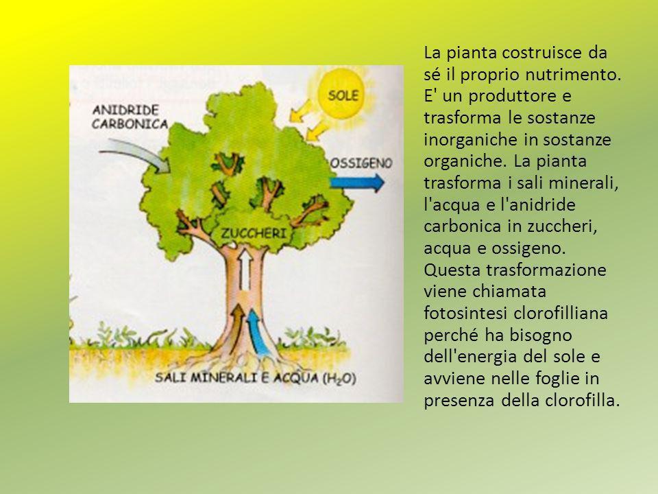 La pianta costruisce da sé il proprio nutrimento