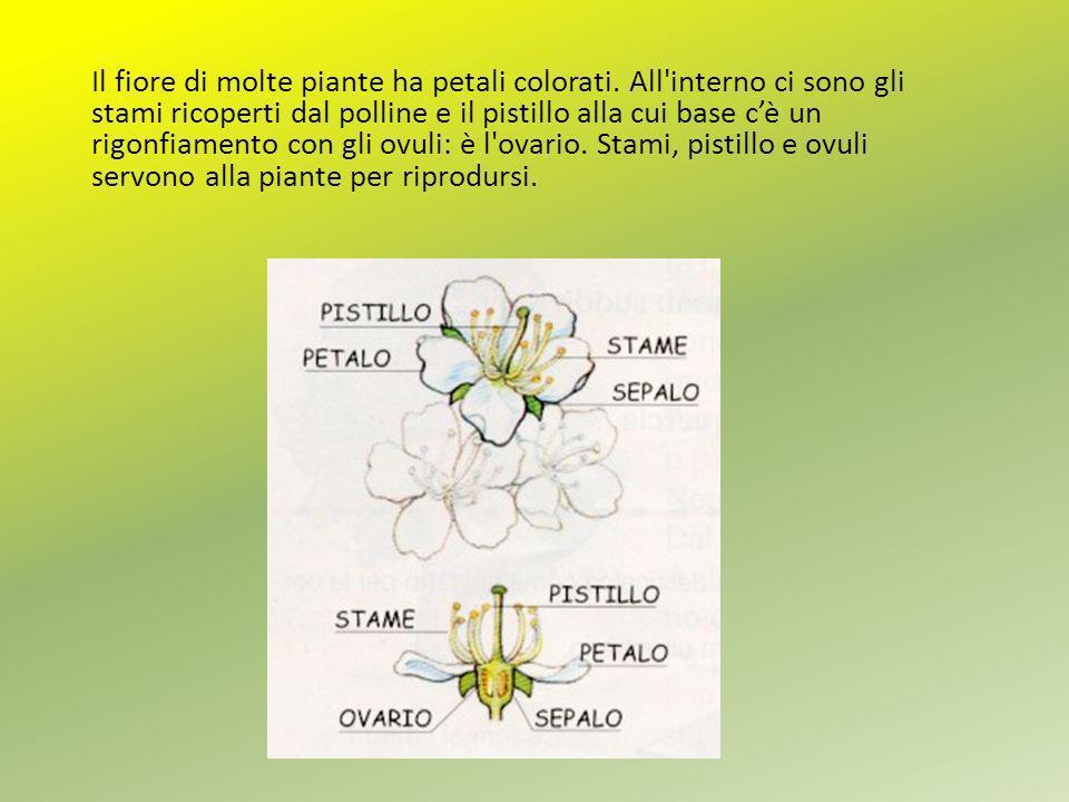 Il fiore di molte piante ha petali colorati