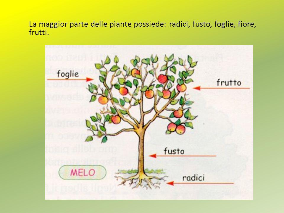 La maggior parte delle piante possiede: radici, fusto, foglie, fiore, frutti.