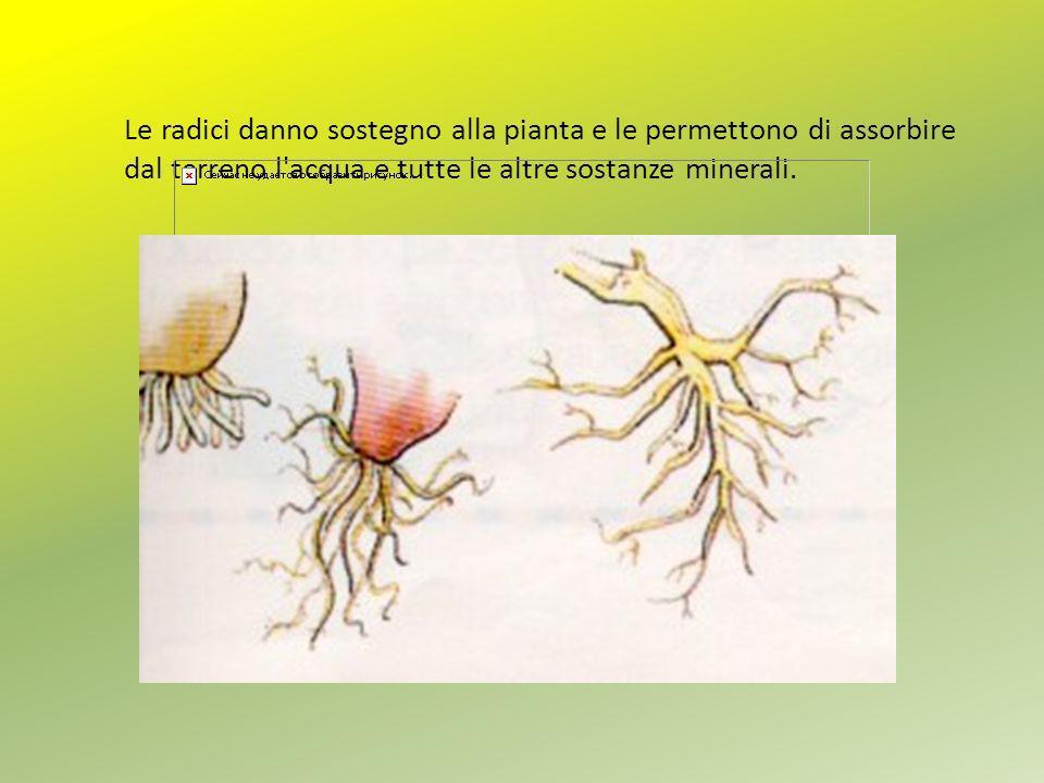 Le radici danno sostegno alla pianta e le permettono di assorbire dal terreno l acqua e tutte le altre sostanze minerali.