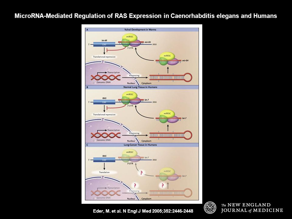 MicroRNA-Mediated Regulation of RAS Expression in Caenorhabditis elegans and Humans