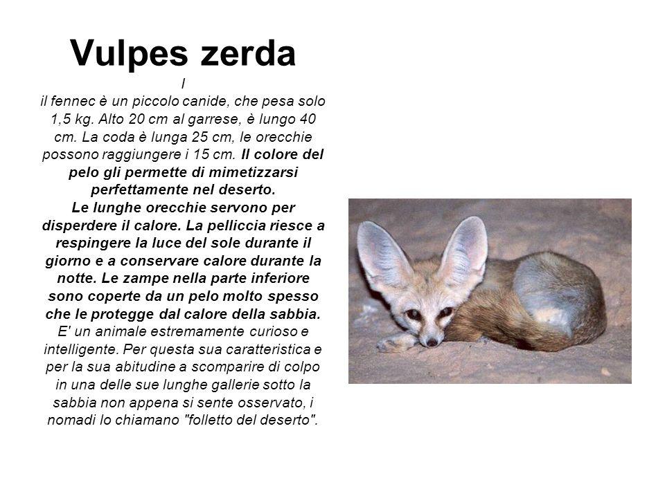 Vulpes zerda I il fennec è un piccolo canide, che pesa solo 1,5 kg