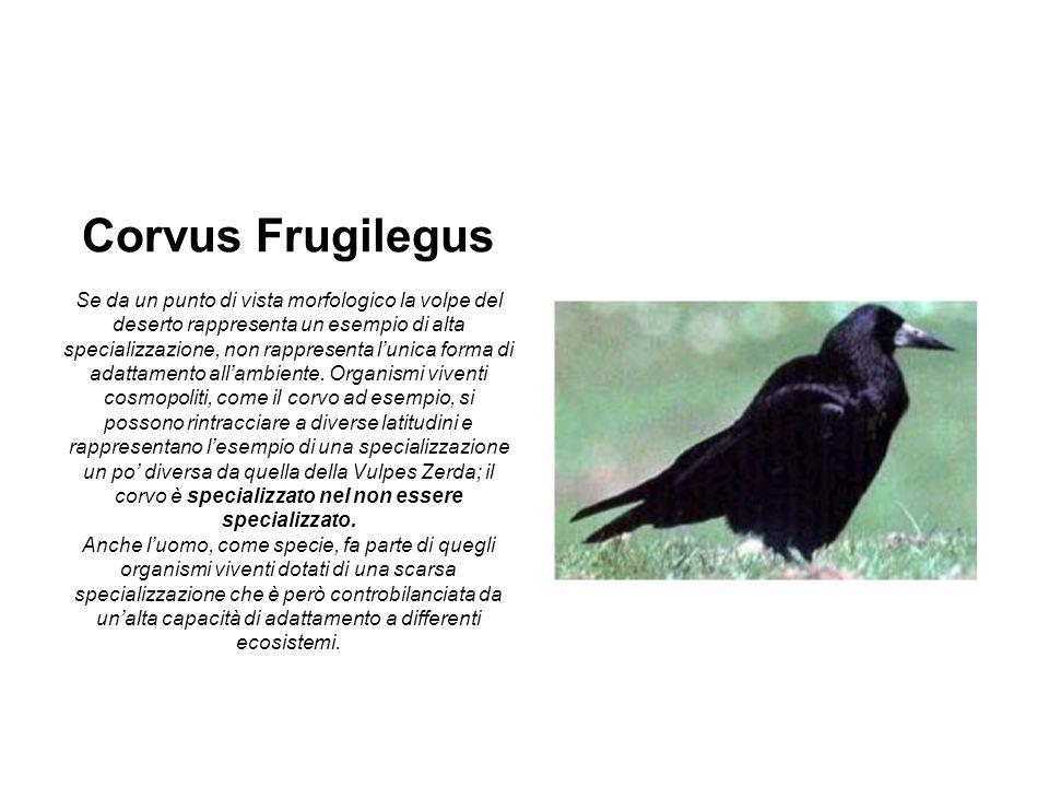 Corvus Frugilegus Se da un punto di vista morfologico la volpe del deserto rappresenta un esempio di alta specializzazione, non rappresenta l'unica forma di adattamento all'ambiente.