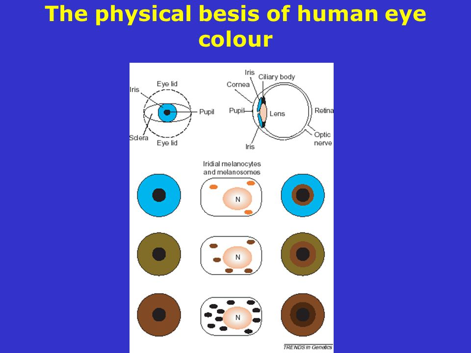 The physical besis of human eye colour