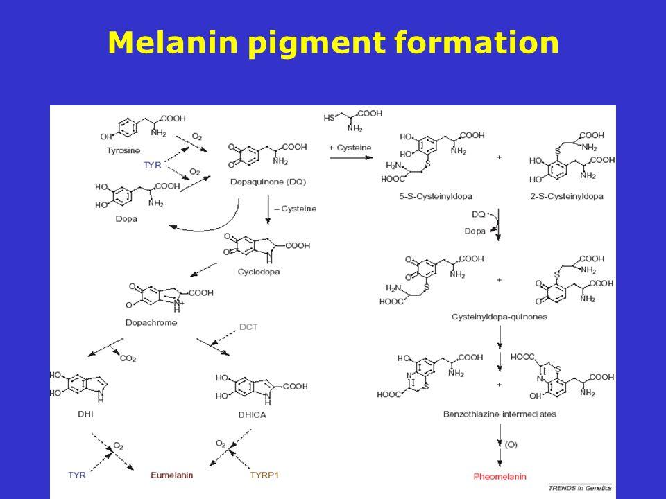 Melanin pigment formation