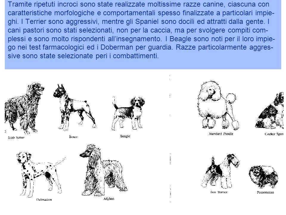 Tramite ripetuti incroci sono state realizzate moltissime razze canine, ciascuna con caratteristiche morfologiche e comportamentali spesso finalizzate a particolari impie- ghi.