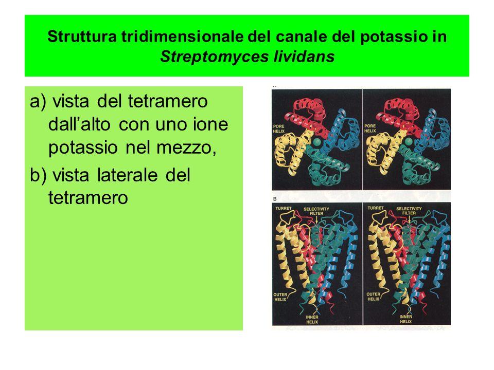 a) vista del tetramero dall'alto con uno ione potassio nel mezzo,