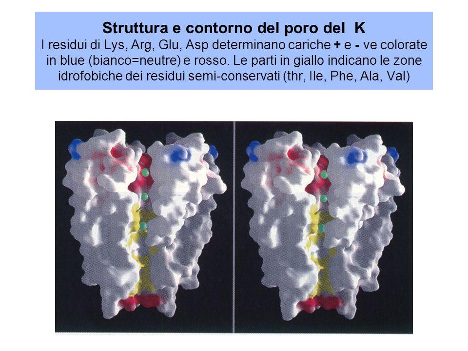 Struttura e contorno del poro del K I residui di Lys, Arg, Glu, Asp determinano cariche + e - ve colorate in blue (bianco=neutre) e rosso.