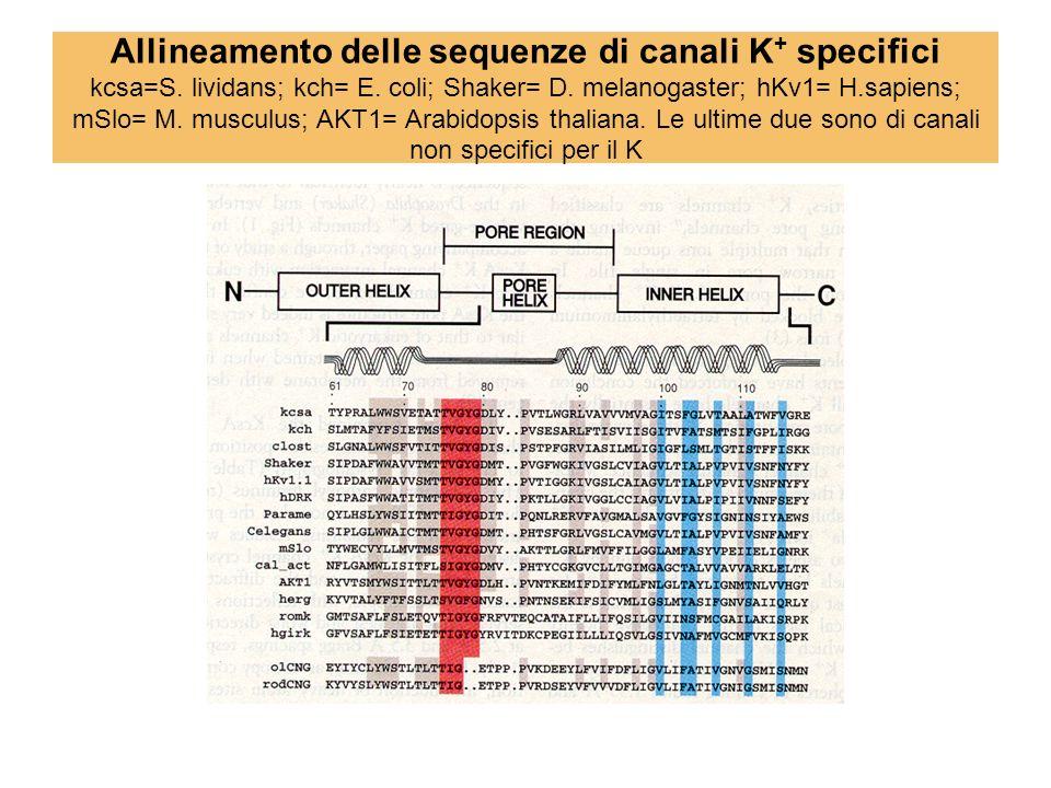 Allineamento delle sequenze di canali K+ specifici kcsa=S