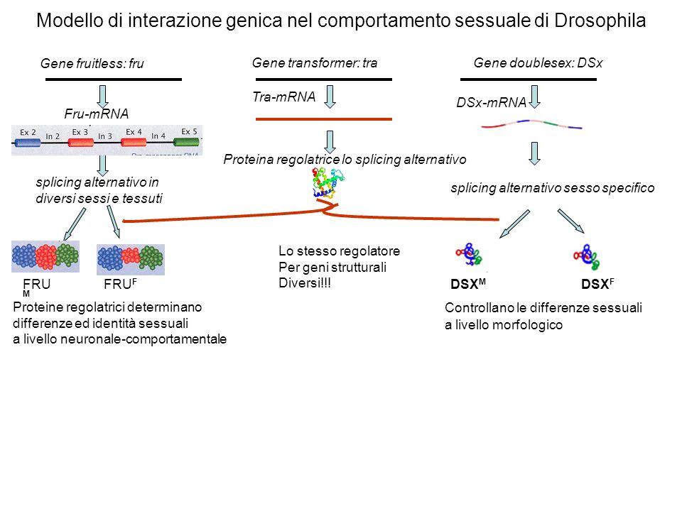 Modello di interazione genica nel comportamento sessuale di Drosophila