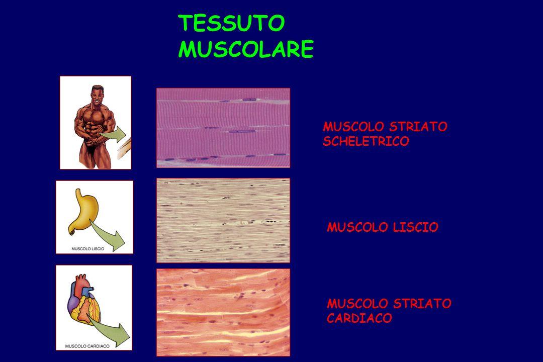 TESSUTO MUSCOLARE MUSCOLO STRIATO SCHELETRICO MUSCOLO LISCIO